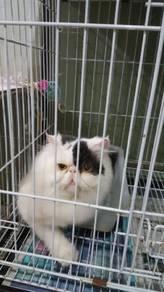 Kucing parsi flat face jantan