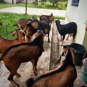 Goat ~ Kambing Kampung