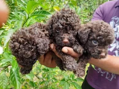 Toy Poodle Puppy (Cola color)
