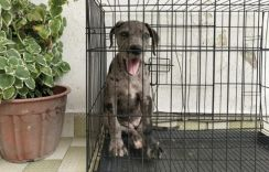 Female Great Dane (Dane puppy)