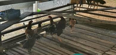 Ayam kampung ORI
