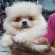 Pomeranian Puppies for sale (Dog)