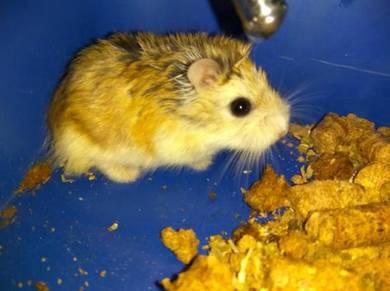 Hamster Robo untuk dilepaskan