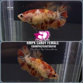 Betta HMPK Candy Female EBHMPKCF04OTB0418