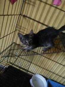 Anak kucing/ kitten