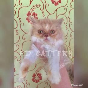 Purebreed semi flat face persian kitten cat