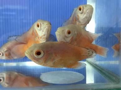 Albino oscar fish