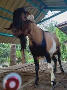 2 Ekor kambing bapak cross boer dan ibu saenan