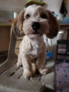 Shihpoo terrier for sale