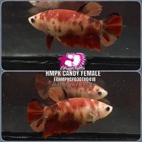 Betta HMPK Candy Female EBHMPKCF03OTB0418