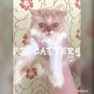 Semi flat face persian purebreed kitten cat