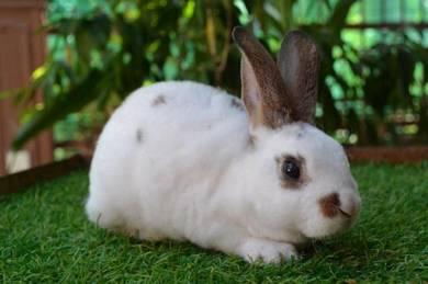 Arnab, Mini Rex Rabbit, chalie