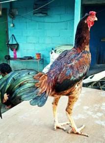 Ayam Bulu Betina (Hennie)