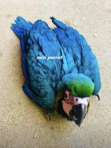 Baby Bolivia Blue And Gold Macaw Parrot Bird