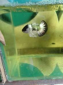 Ikan Laga - FCCP STARTAIL