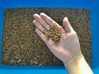 Mealworm (ulat kecil)