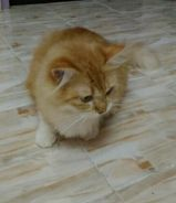 Mom & Kitten Persian Cat mixed Maincoon