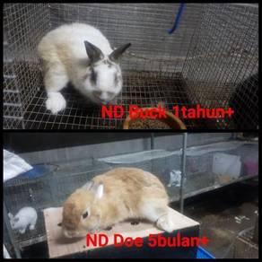 Arnab Baka ND Netherland Dwarf Purebreed