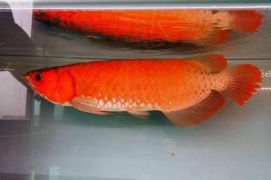 Blood red arowana 19 inch
