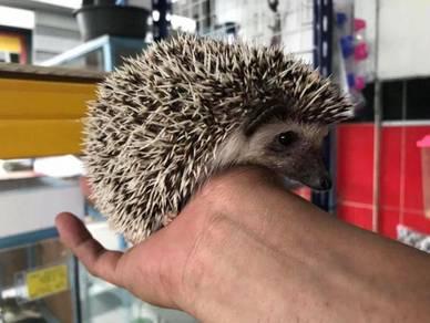 Hedgehog / landak mini (salt n pepper)