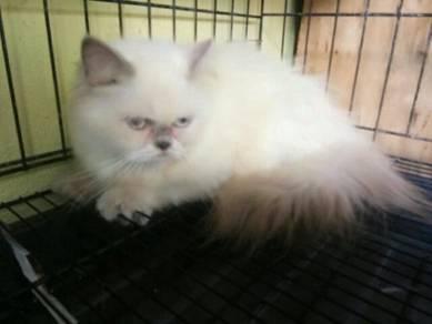 Persian cat betina