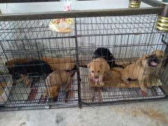 5 Cute puppies look for new lovely home