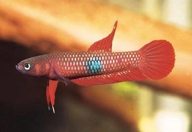 Wild Betta Brownorum | ikan laga liar