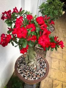 Baja bunga khas untuk adenium/ orkid/ kaktus