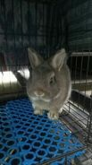 Natherland Dwarf Rabbit For Sell(pet quality)