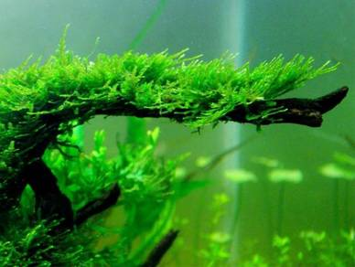 Aquarium plant Java Moss for aquascape