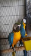 Burung blue and gold macaw pair siap lesen