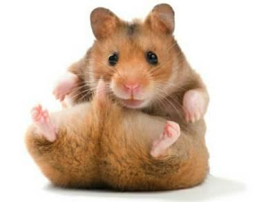 Hamster untuk dijual