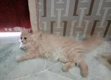 Female Long Tabby Persians kitten