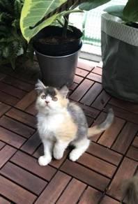 Kitten DLH & Semi-Flat Mix