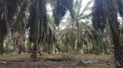 10 Acres SEDENAK PALM OIL LAND For SALE