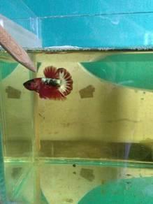 Ikan Laga - FCCP RED HEAD