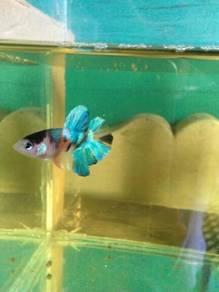 Ikan Laga - BLUE NEMO
