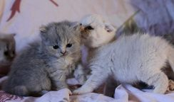Bsh cute kitens tested for stud