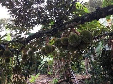 D24, Musang King, sungai klau, pahang, durian land