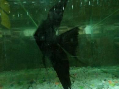 Ikan angel saiz besar