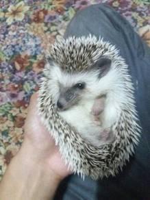 Hedgehog SNP male