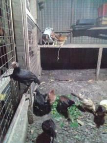 Ayam kampung asli original