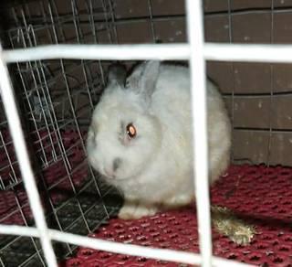 Arnab netherland dwarf rabbit