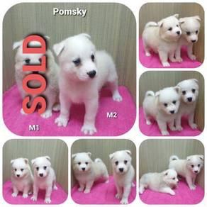 Pomsky (Pomeranian Mix Husky)