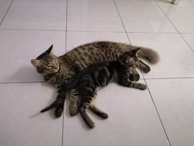 Anak kucing bengal marble