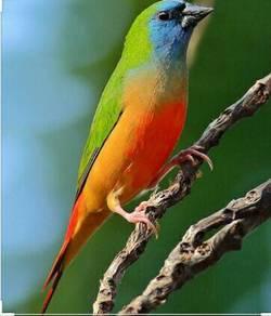 Burung pipit / finch