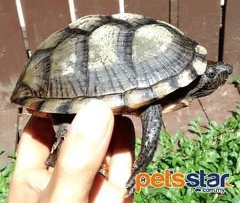 Razorbacked Musk Turtle