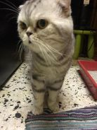 Scottish fold bsh with certificate