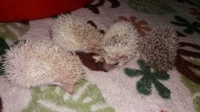 Hedgehog landak mini pinto