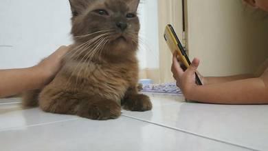 Kucing siam coklat